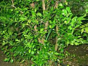 Citrus warburgiana, New Guinea wild lime
