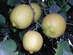 'Femminello' lemon