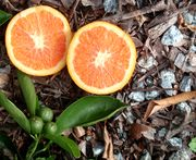 'Cara Cara' navel orange