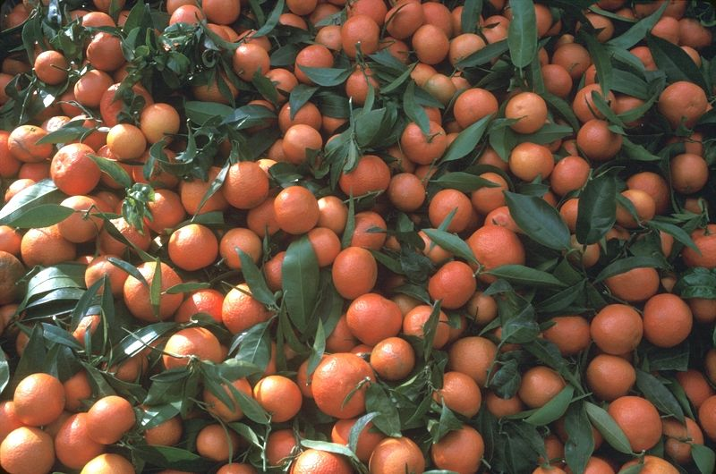 http://citruspages.free.fr/images/clementines_9005-043.jpg