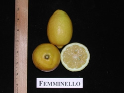 'Femminello' sitruuna