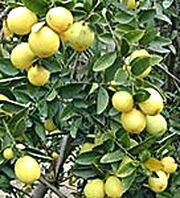 Limequat 'Lakeland' picture from Brazos Citrus Nursery