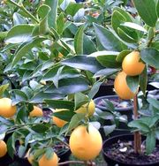 Limequat 'Lakeland' picture from Plantes du Sud
