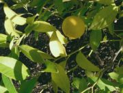 'Galgal' lemon, Citrus pseudolimon