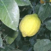 'Genoa' lemon