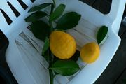 Giant Meyer lemon