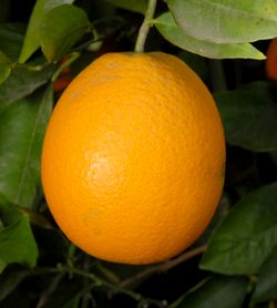 10 Orange tree seeds João type! Fresh From Portugal!D delicious fruit!