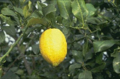 'Monachello' lemon