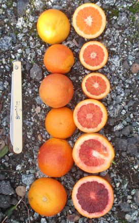 Moro blood orange