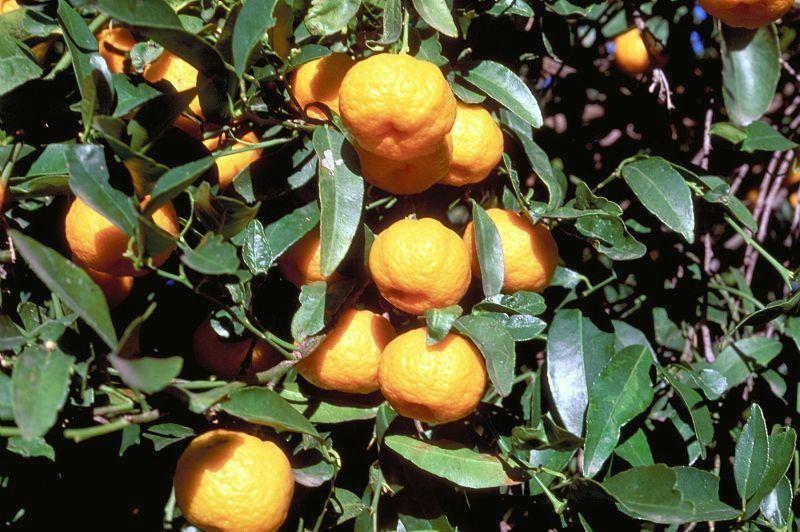 Honey Tangerine*best citrus varieties *5 seeds Rare Fruits*  Citrus tangerina