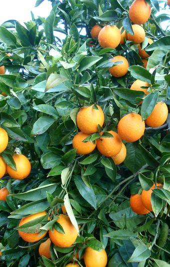 'Jincheng' sweet oranges