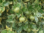 'Peters', a variegated calamondin