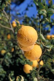 Trifoliate orange 'Rich', Poncirus trifoliata