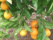'Rhode Red' Valencia orange