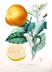 Engraving of an orange from Risso & Poiteau