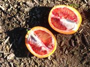'Sanguinelli' blood orange