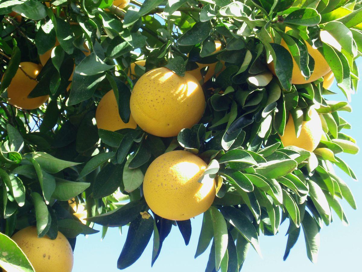 http://citruspages.free.fr/images/starruby2-jk.jpg