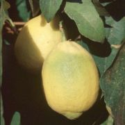 'Villafranca' lemon