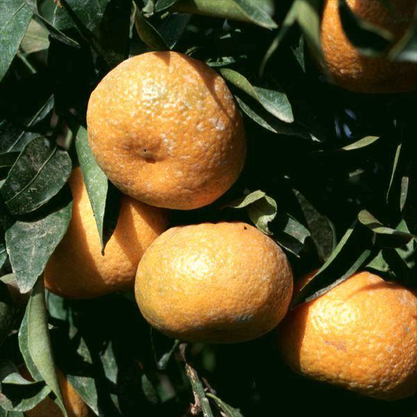 http://citruspages.free.fr/images/willowleaf2.jpg
